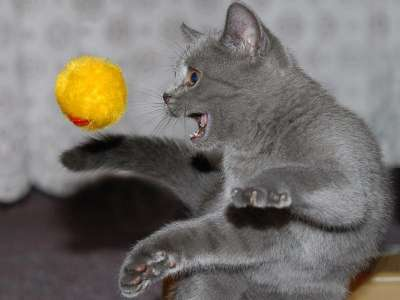 Мячик - любимая игрушка кошек