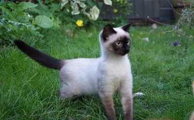 Сиамская кошка. Сиамский котенок